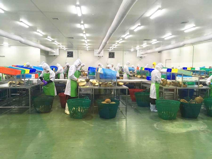 durian grading room