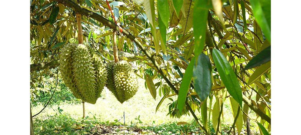ferme de durian