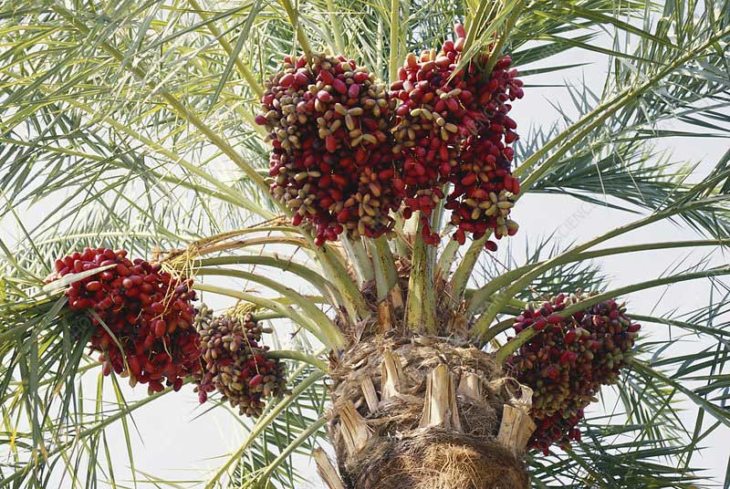 arabian dates palm tree